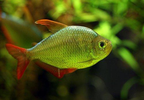 Тетра Сапфировая (Hyphessobrycon columbianus)