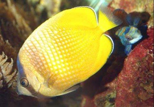 Бабочка Клейна (Chaetodon kleinii)