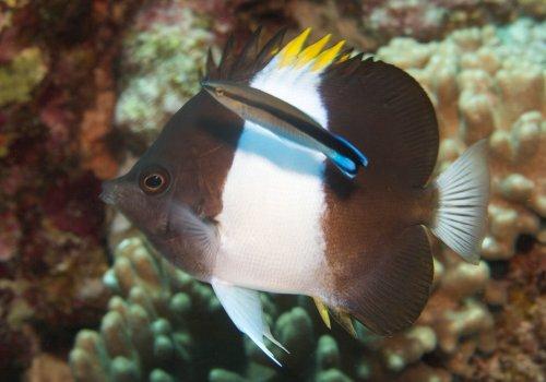 Гемитаурихт трехцветный (Hemitaurichthys zoster)
