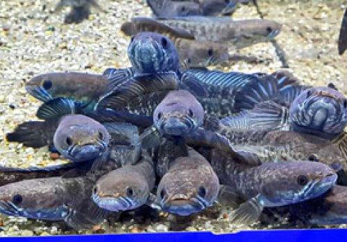 Змееголов карликовый голубой (Channa andrao blue)